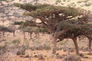 frankincense forest in Socotra