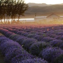 Lavender farm in Mona Utah with lake in the background