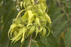 Blossoms from the exotic ylang ylang tree at YL's Finca Botanica Aromatica farm in Chongon, Ecuador.