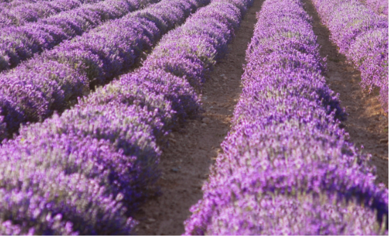 Purple lavender bushes, planted in rows