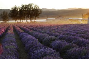 A field of true lavender growing at the Young Living Lavender Farm in Mona, Utah.